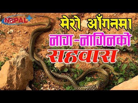 (Live Snake Love II मेरो आँगनमा सर्पको सहवास !! - Duration: 12 minutes.)