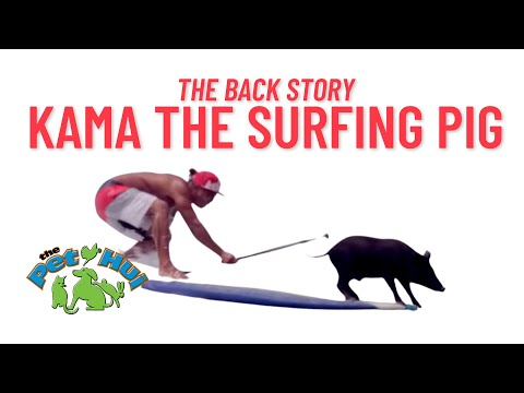 WATCH: Kama the surfing pig!