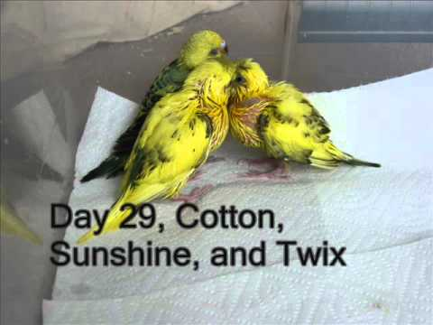 Parakeet Babies  From Egg to Flight in 40 Days.wmv
