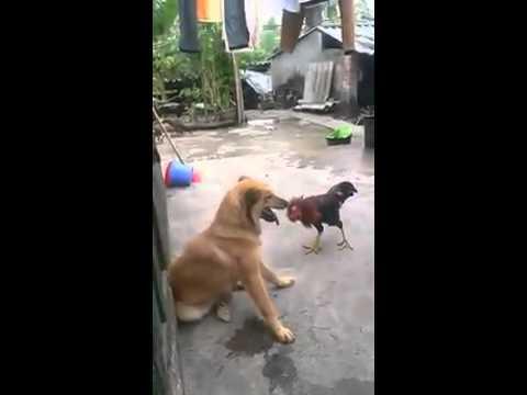 Gà VS Chó
