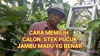 Video CARA MEMILIH CALON STEK PUCUK JAMBU MADU SECARA BENAR MP3, 3GP, MP4, WEBM, AVI, FLV September 2018