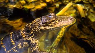 Amazing American Alligator!