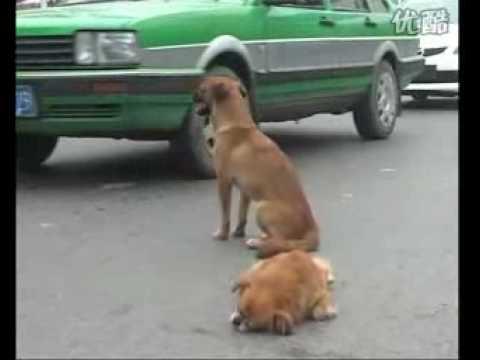 小狗在危險的馬路上守護著受傷的同伴不願離開。感動數十萬人!