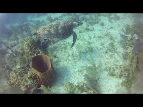 scuba diving - Florida Key's Scuba Diving spearfishing. hawk bill turtle and hogfish.