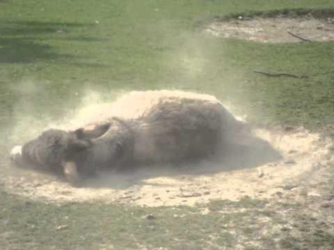 L'asino e il bagno di sabbia