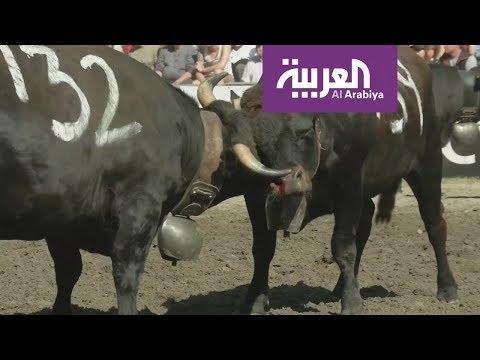العرب اليوم - شاهد:100 بقرة تتنافس للتتويج بلقب الملكة