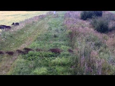 Дикие кабаны прорвались через белорусско-литовскую границу