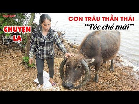 Chuyện lạ Việt Nam: Con Trâu thần thái