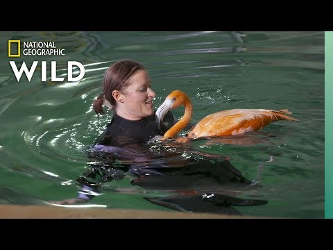 Flamingos Get Hydrotherapy | Secrets of the Zoo