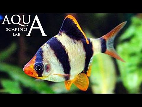 acquariofilia - barbus tetrazona (barbo tigre)