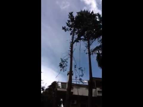 Intervento di abbattimento albero ad alto fusto con tecnica 'tree climbing' Roma 2012