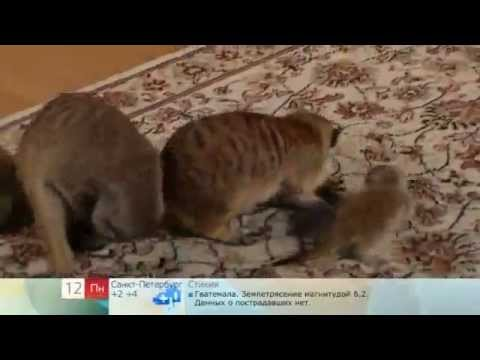 Онлайн видео Сурикаты .mp4 * responsevideo.ru