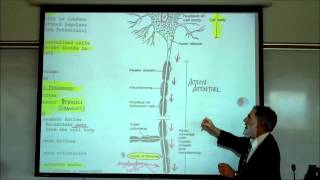 Structure&Types Of Neurons By Professor Fink