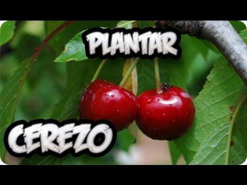 Frutales en chile videos videos relacionados con frutales en chile - Como plantar arboles frutales ...