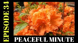 Peaceful Minute ~ Episode 34 ~ Flower Power ~ Orange Azalea Welcome to my Peaceful Minutes Series.I will be posting 1 minute videos of peaceful moments that I see in Nature.We all can use 1 minute of peace in our busy lives.I'm planning on posting a new video to this series every Friday for a year. (Started December 2, 2016)  That's my goal.ENJOY!!********************************************************************Please Subscribe, Like, Comment and Share:You Tube:http://www.youtube.com/user/NaturesFairyMy second Channel: BikingAway:https://www.youtube.com/channel/UCfgDmWTZuHBlJxcyai0HBWQYou can find me on:Facebook Gluten Free Page:https://www.facebook.com/SharingGlutenFreeRecipesMy Blog for all my Gluten Free and some Low Carb Recipes:http://sharingglutenfreerecipes.blogspot.com/Instagram:http://instagram.com/sharingglutenfreerecipes/Pinterest:http://www.pinterest.com/naturesfairy/Twitter:https://twitter.com/NaturesFairyGoggle+:https://plus.google.com/u/0/104572512004936962263Tumblr:http://sharingglutenfreerecipes.tumblr.com/Thanks for watching,Peace ~ Love and JoyAlways be humble ~ Always be kindBrenda ~ NaturesFairy********************************************************************Video recorded on 5/28/2107My Backyard:Bellingham Massachusetts********************************************************************MUSIC CREDIT:Silver Blue Light Kevin MacLeod (incompetech.com)Licensed under Creative Commons: By Attribution 3.0 Licensehttp://creativecommons.org/licenses/by/3.0/********************************************************************Peaceful MinutePeaceful Minute Episode 34Peaceful Minute SeriesPeaceful Minute in NaturePeaceful Relaxing MinuteChill out in NatureTimeout in NatureNature MeditationAway from the Hustle and BustleMoments of PeacePeaceful MomentsPeaceful Moments in NatureOne Minute in NatureOne Minute of PeaceOne Minute RelaxationSpend time in NaturePeaceMassachusetts Nature WalkWeekly SeriesSpend time outdoorsSpend time outside60 SecondsTake one 