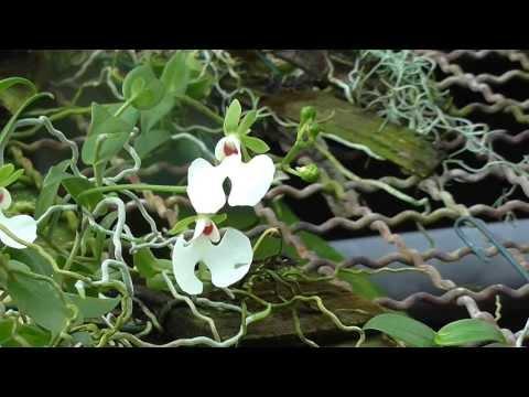 Orchideen Arten: Oenia oncidiflora (rosea)