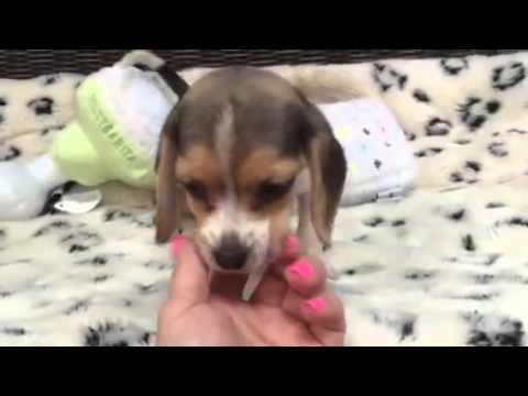 Absolutely Adorable, Pocket Beagle!