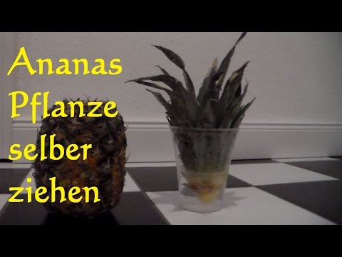 ananas selber ziehen oltre 1000 idee su pflanztisch. Black Bedroom Furniture Sets. Home Design Ideas