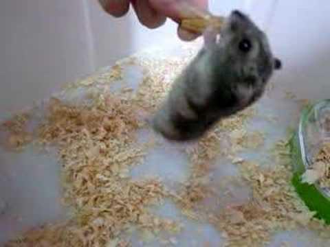 你們家的老鼠會這樣嗎?為了吃可以不顧一切!