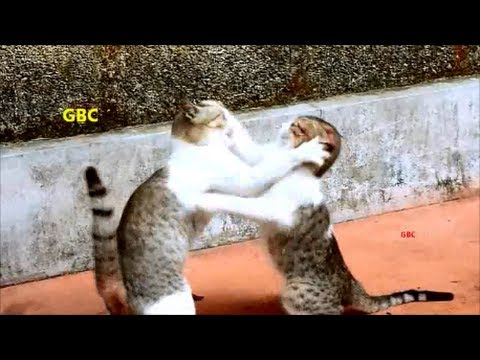 Funny cats boxing  – Cat fight with funny sound effects