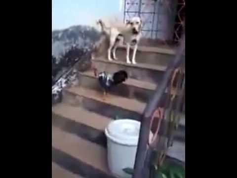 Dog Vs Cock