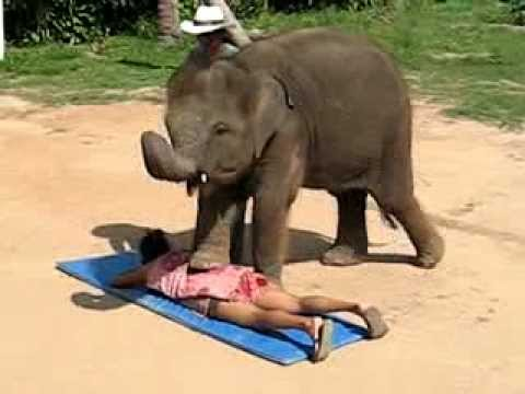 Video Thai Elephant Massage - by a Cute Baby Elephant in Koh Samui download in MP3, 3GP, MP4, WEBM, AVI, FLV January 2017