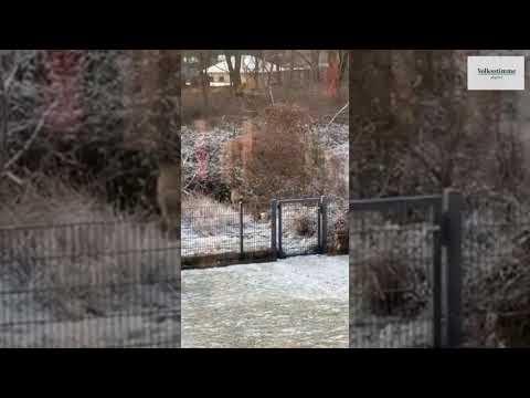 Wolf in Magdeburg gesichtet - das Landesamt bestätigt