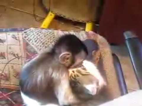 L'amour «fou» entre un singe et un chat
