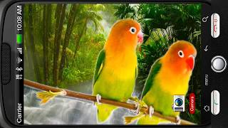 Parrots Agapornis Fischeri YouTube video