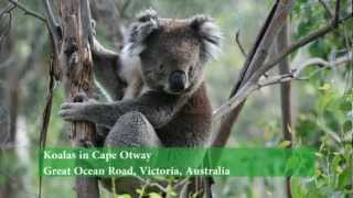 Great Ocean Road - Cape O Australia  city photos gallery : Koalas in Cape Otway, Great Ocean Road, Australia