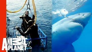 Video Great White Snaps Cage in Half | World's Scariest Animal Attacks MP3, 3GP, MP4, WEBM, AVI, FLV Juli 2018