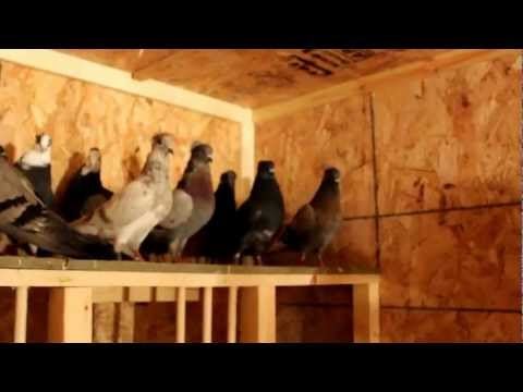 visokoletac - This video was taken late evening when they are not very active. They will grow to become a very unique and expensive birds. These are the high flyers, and t...