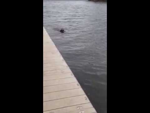 Harley the chocolate lab dock diving