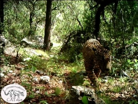 Beautiful Footage Of Only Know Wild Jaguar In The U.S. - Amazing!