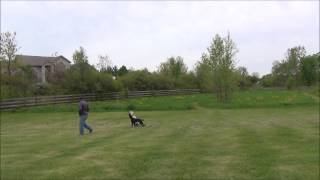 Off Leash Training with Suburban K9 Dog Training