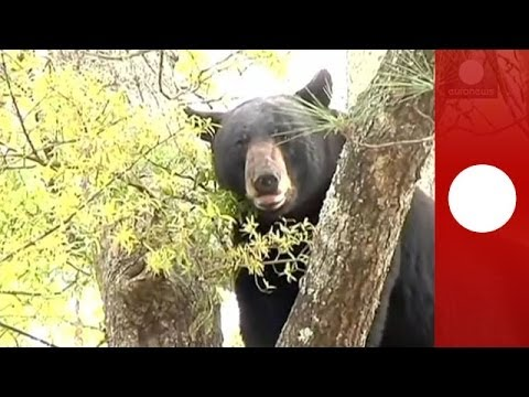 Falls - A large black bear climbed 30 feet up the tree situated right in front of a house was shot out of a tree with a tranquilizer gun in Panama City, Florida, on ...
