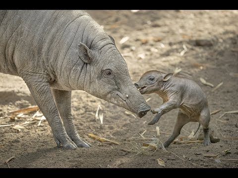 Babirusa Piglet Plays with Mom at the San Diego
