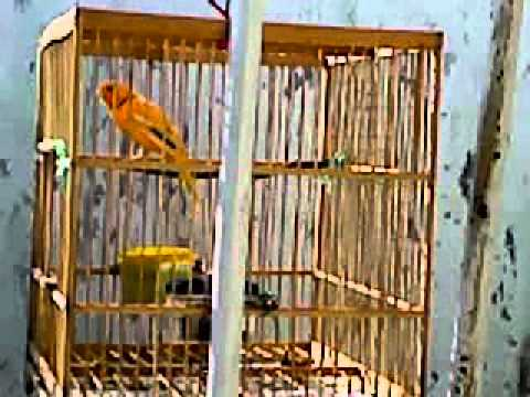 Burung kemade/cabe jawa/scarlet headed flowerpecker 02 - Video