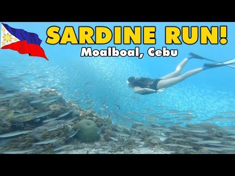 CHASING SARDINES & SEA TURTLES 🌊🐢 ---FREEDIVING at Moalboal, Cebu Philippines 🇵🇭 | Day See