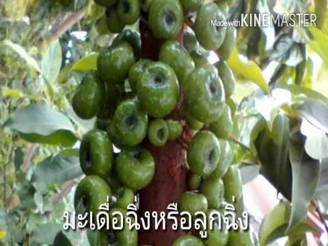 สมุนไพรไทย Thai herbs Ep1 มะเดื่อฉิ่ง ลูกฉิ่ง บำรุงกำลัง สมุนไพรที่ต่างชาติสนใจ