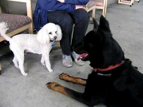 Poodle and Beauceron Introduction