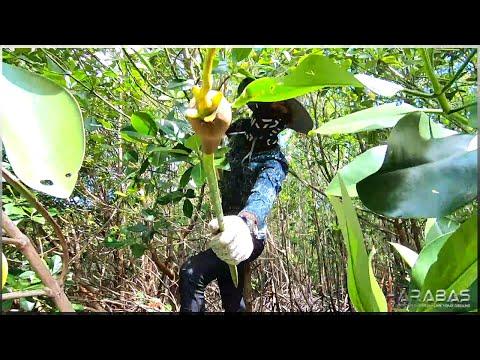 EP225-Part1 - Bakawan (Mangrove) Planting | Pagpandaw ng Bokatot | Occ. Mindoro