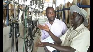 Milk extraction inside Rosedale Farm, Ilorin, Kwara State, Nigeria