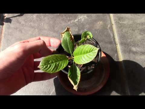 Kratom Plant Update – April 2015