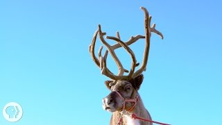 """What if you had to grow 20 pounds of bone on your forehead each year just to find a mate? In a bloody, itchy process, males of the deer family grow a new set of antlers every year, use them to fend off the competition, and lose their impressive crowns when breeding season ends.SUBSCRIBE to Deep Look! http://goo.gl/8NwXqtDEEP LOOK is a ultra-HD (4K) short video series created by KQED San Francisco and presented by PBS Digital Studios. See the unseen at the very edge of our visible world. Get a new perspective on our place in the universe. Explore big scientific mysteries by going incredibly small.* WE'RE TAKING A BREAK FOR THE HOLIDAYS. WATCH OUR NEXT EPISODE ON JAN. 17, 2017. *Antlers are bones that grow right out of an animal's head. It all starts with little knobs called pedicles. Reindeer, elk, and their relatives in the cervid family, like moose and deer, are born with them. But in most species pedicles only sprout antlers in males, because antlers require testosterone.The little antlers of a young tule elk, or a reindeer, are called spikes. Every year, a male grows a slightly larger set of antlers, until he becomes a """"senior"""" and the antlers start to shrink.While it's growing, the bone is hidden by a fuzzy layer of skin and fur called velvet that carries blood rich in calcium and phosphorous to build up the bone inside. When the antlers get hard, the blood stops flowing and the velvet cracks. It gets itchy and males scratch like crazy to get it off. From underneath emerges a clean, smooth antler.Males use their antlers during the mating season as a warning to other males to stay away from females, or to woo the females. When their warnings aren't heeded, they use them to fight the competition. Once the mating season is over and the male no longer needs its antlers, the testosterone in its body drops and the antlers fall off. A new set starts growing almost right away.--- What are antlers made of?Antlers are made of bone. --- What is antler velvet? Velvet is the"""