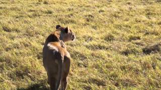 Lioness hunt, close enough to give her a pat....