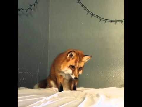 Don't Bring a Fox to Bed