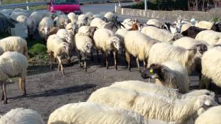Linguaglossa Italy  City pictures : Sicilian sheep, Linguaglossa, Italy December 2014