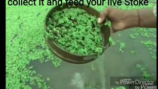 Nonton How To Grow Free Feed Duckweed For Chicken Fish Cow                                                       Grow Duckweed And Its Use Film Subtitle Indonesia Streaming Movie Download