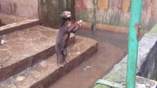 Изможденные голодом медведи выпрашивают еду у посетителей зоопарка